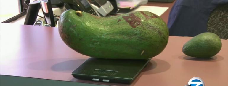 Hawaii Farmer's 6-Pound Avocado May Break Word Record…