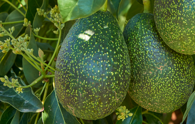 There's a New Avocado in Hawaii, its a GEM!