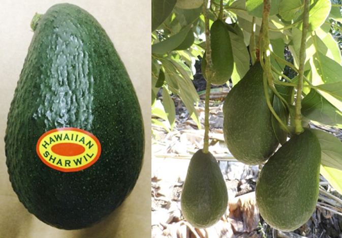 Hawaii Ramps Up Avocado Shipments to the Mainland U.S….